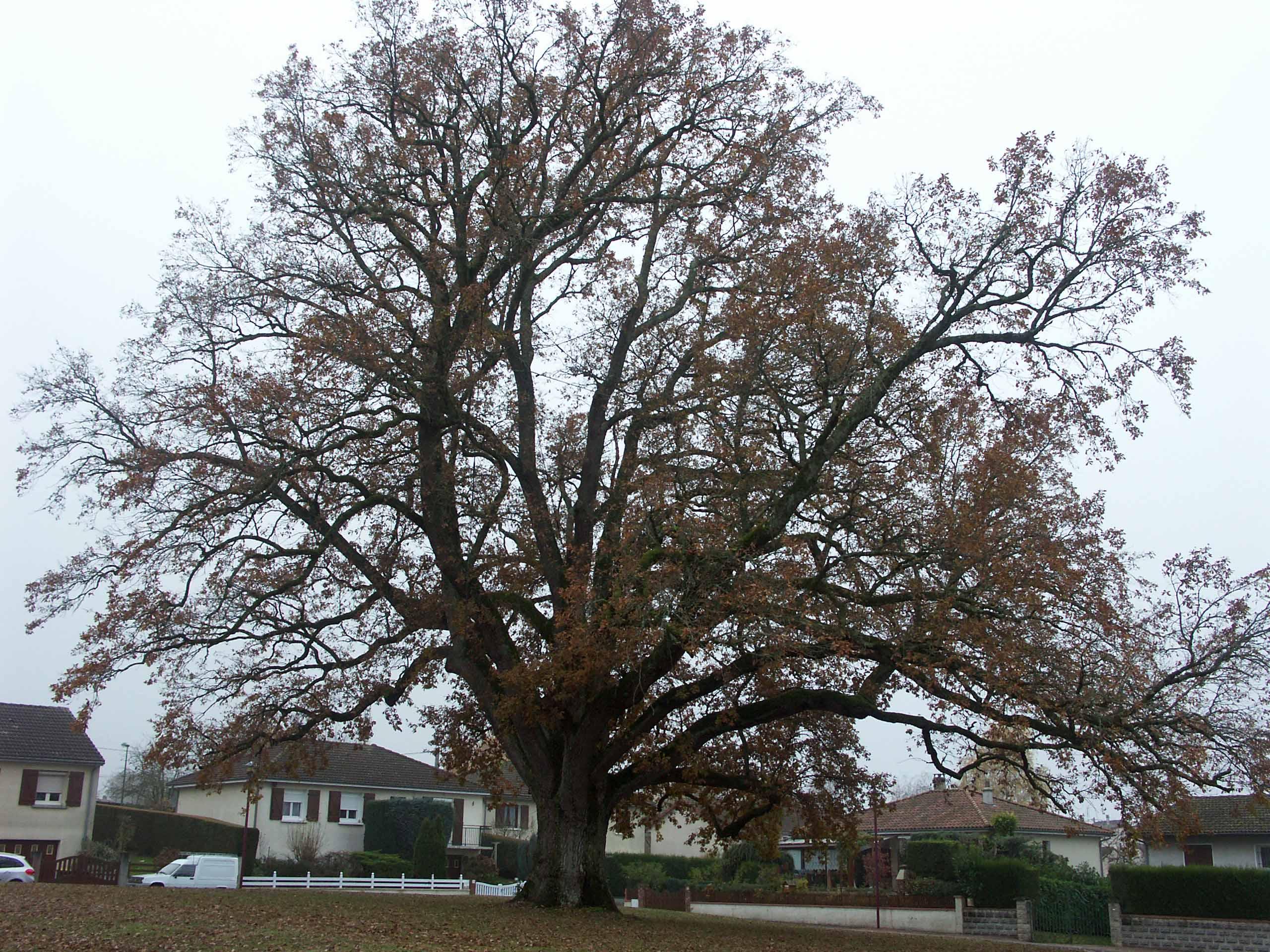 Le grand chêne